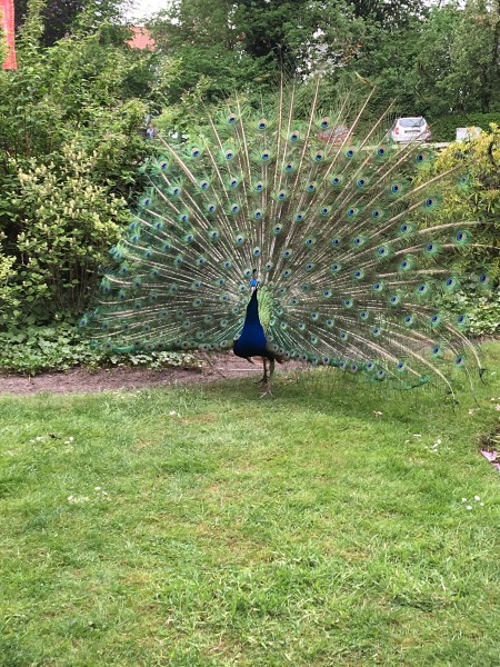 peacock in full regalia